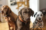 Sammy, Buck & Yogi zu Hause (6/11)