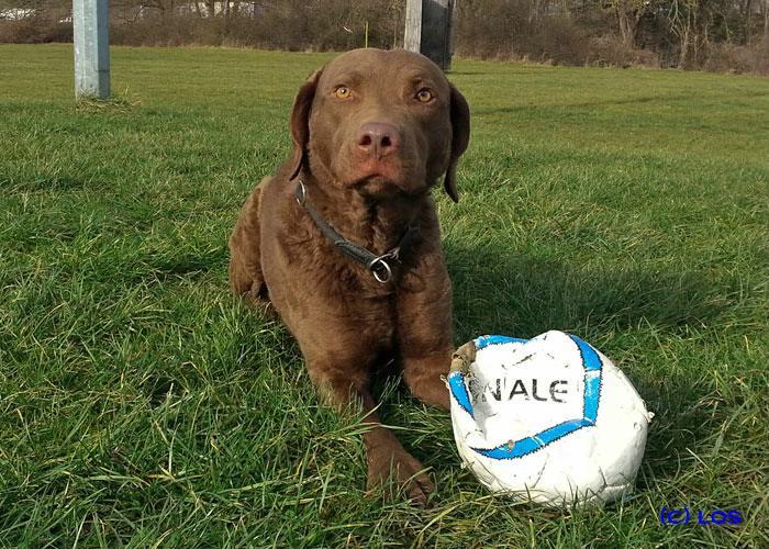 Chesapeake Bay Retriever Buck mit Fußball