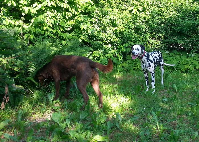 Chesapeake Bay Retriever Buck und Dalmatiner Yogi