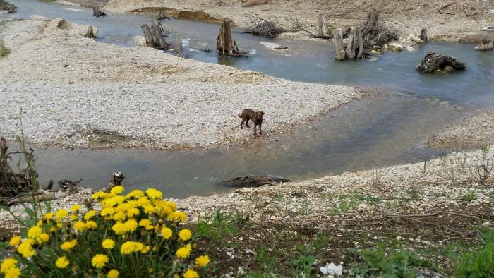 Chesapeake Bay Retriever Buck
