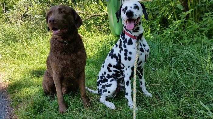 Chesapeake Bay Retriever Buck und Dalmatiner Yogi