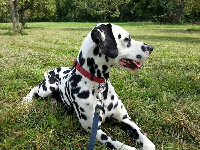 Dalmatiner Yogi